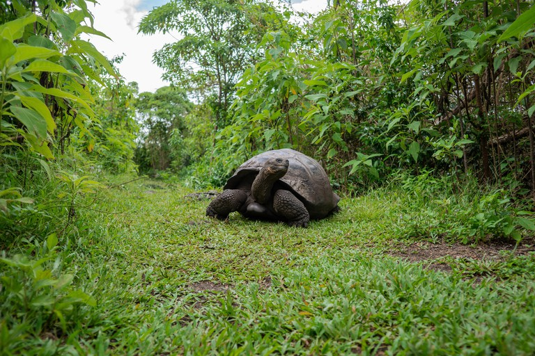 A wild giant tortoise looks at the vegetation in the Highlands of the Galapagos Islands