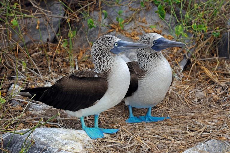Pair of Blue-footed Booby (Sula nebouxii), Espanola Island, Galapagos Islands, UNESCO World Natural Heritage Site, Ecuador