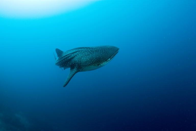 A young whale shark at the Eel Garden dive site, Menjangan Island, Bali