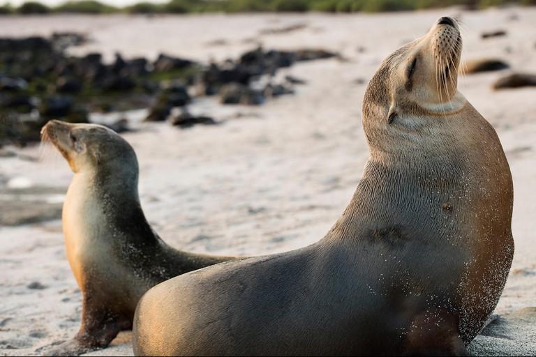 Facing opposite sides. A pair of Galapagos Sea Lions at the Beach in San Cristobal, Galapagos, Ecuador
