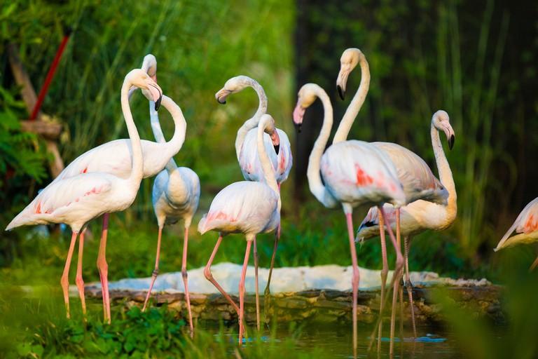 Flamingos at Honolulu Zoo I