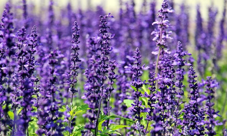 lavender-1507499_1920