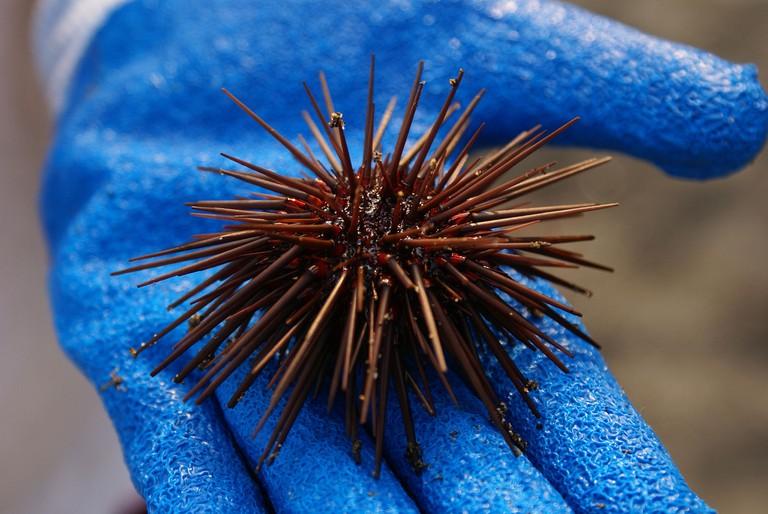 Sea Urchins are a Delicacy