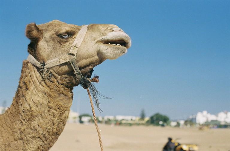 Camel in Essaouira I © Tanel Teemusk/Flickr