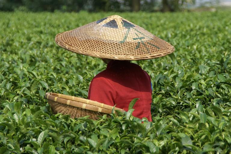 Tea picker at Guilin Tea Institute