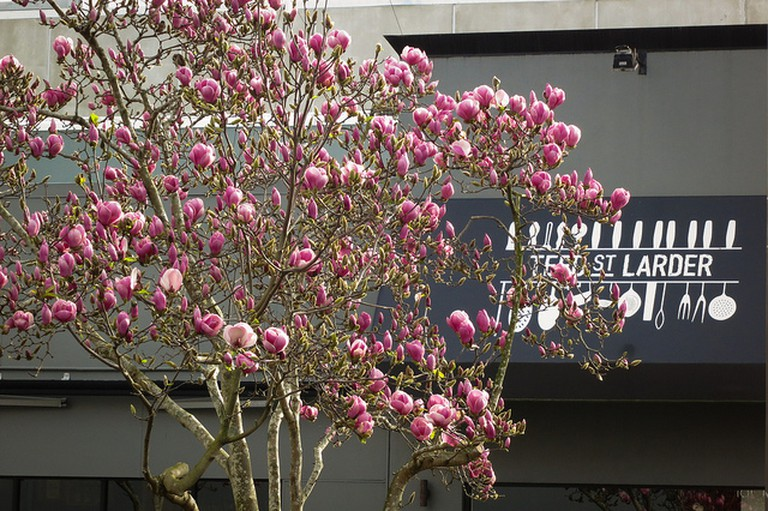 Magnolia blooms in Newmarket I