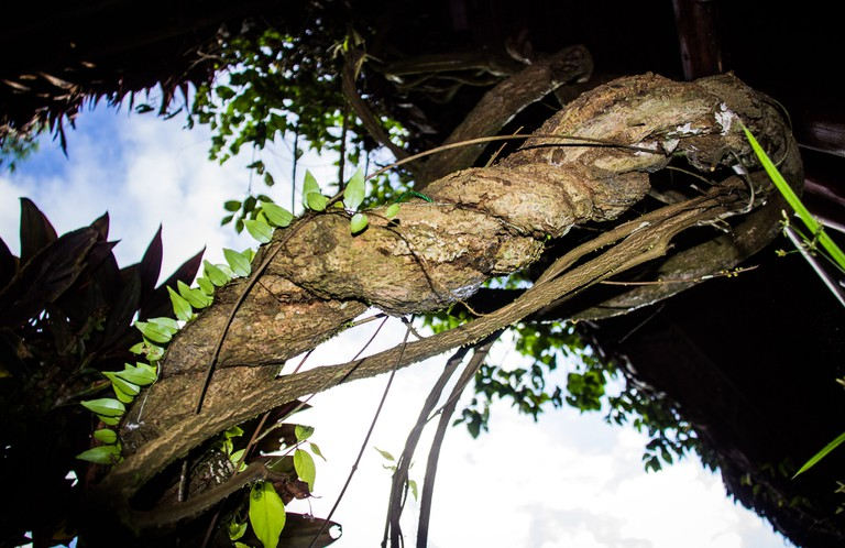 Ayahuasca Vine © Paul Hessel/Flickr