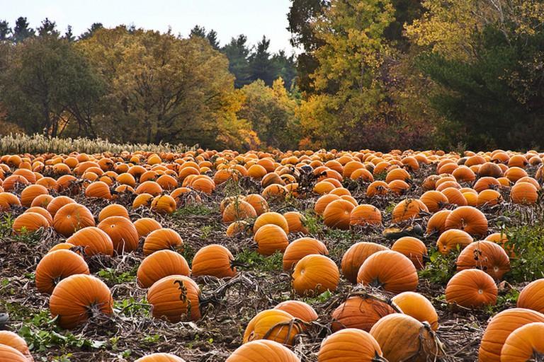 Pumpkin patch | © liz west/Flickr