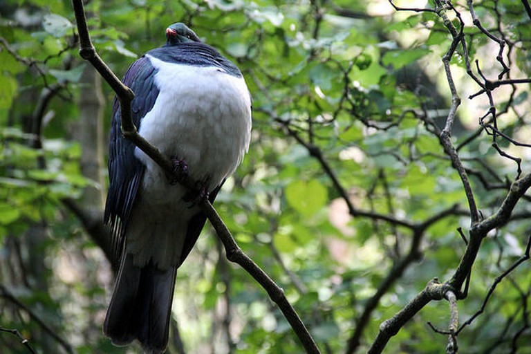 Photo of a Native New Zealand Wood Pigeon (kereru) at Zealandia | © Gabriel Pollard/flickr