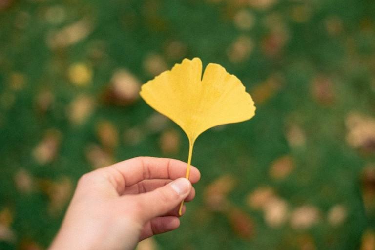 Ginkgo tree leaf