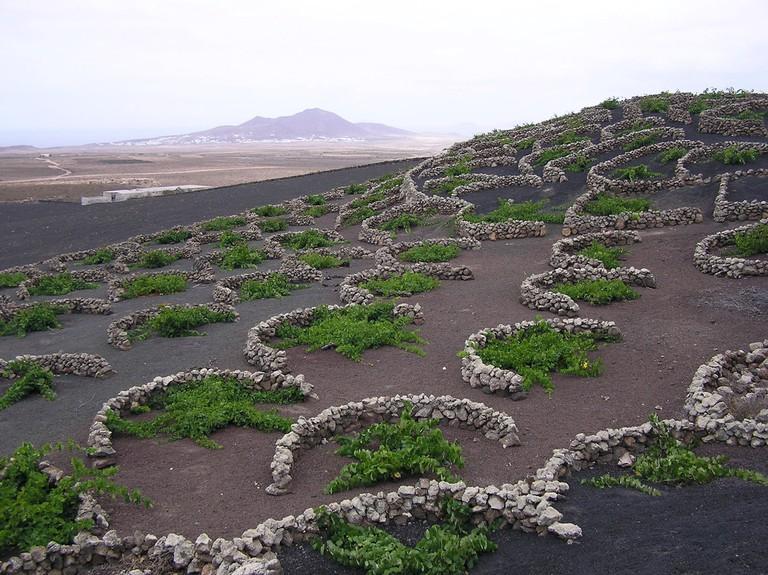 La Geria vines | © Yummifruitbat/WikiCommons