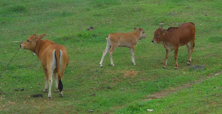 Cows in Hainan, China | © Anna Frodesiak/WikiCommons