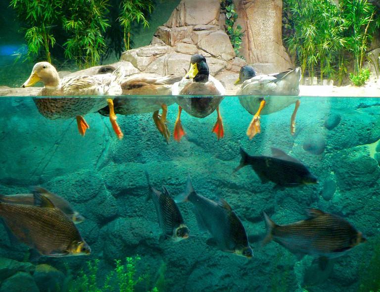 Ducks at the Shanghai Ocean Aquarium