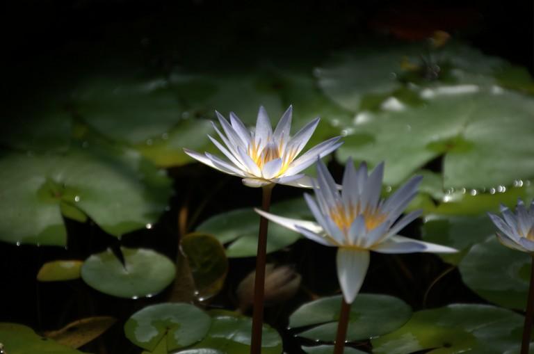 Water Lilies at Brooklyn Botanic Garden | © Joseph Bylund/Flickr