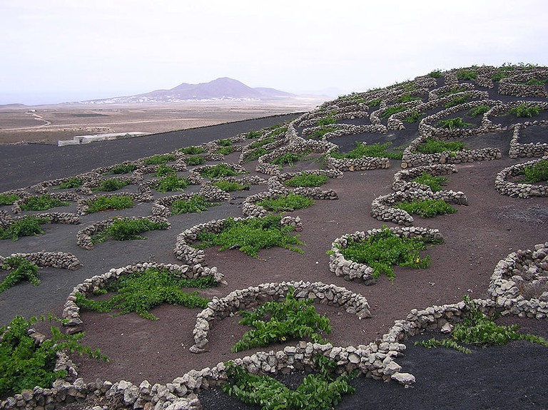 Vines protected by semi-circular dry stone walls from the ever-present wind in the La Geria region of Lanzarote |  © Yummifruitbat / Wiki Commons