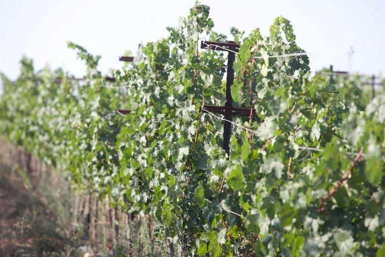 Bat Shlomo Vineyards, Carmel Mountain