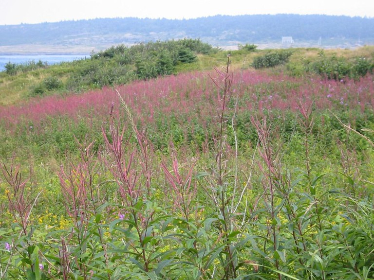 Brier Island field of wildflowers