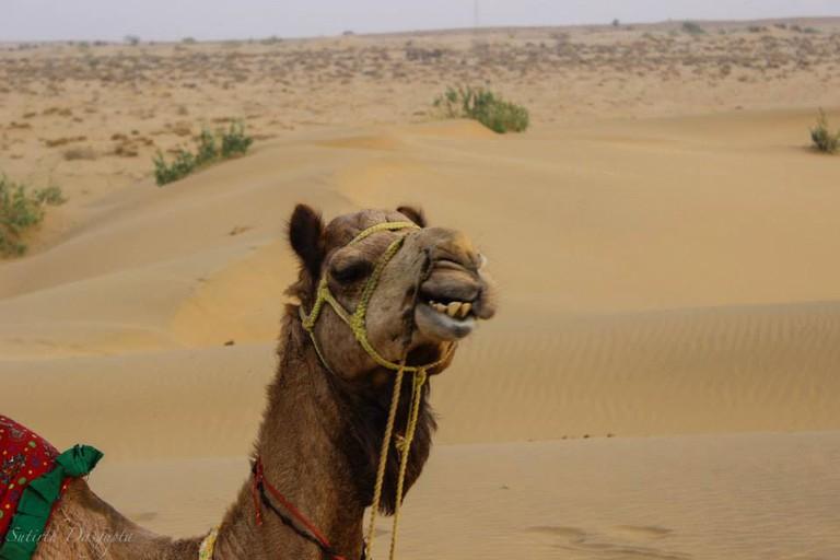 Toothy Camel Grin | © Sutirth Dasgupta