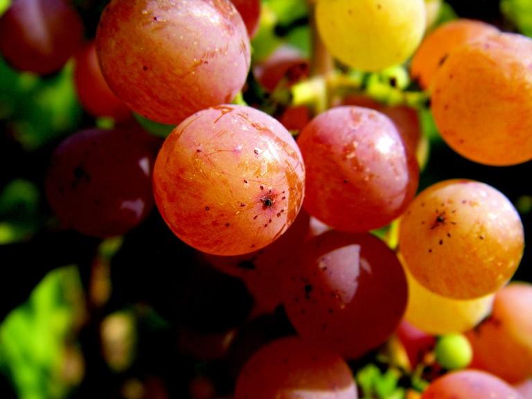 Gewürztraminer Grapes | © Maureen Didde / Flickr