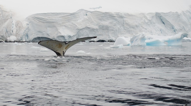 Humpback Whale Fluke, Antarctica