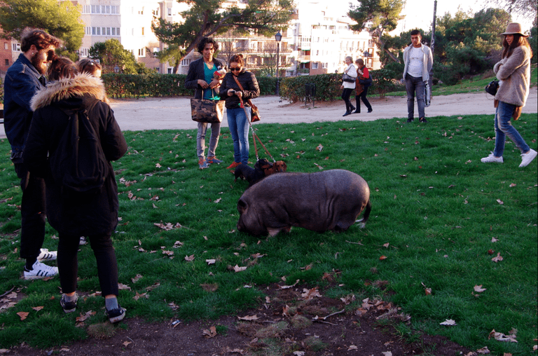 Pet pig attracting attention in Parque del Oeste