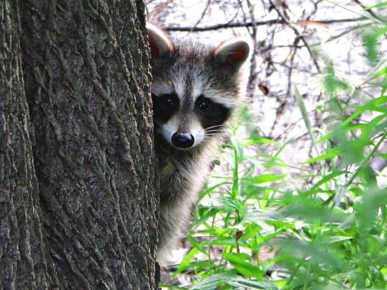 The Friendly Neighbourhood Raccoon | © Michael Gil/Flickr