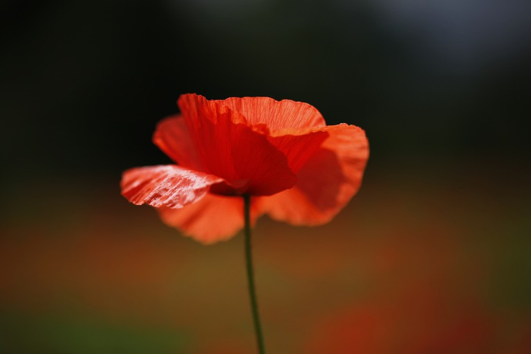 Poppy | © jenny downing / Flickr