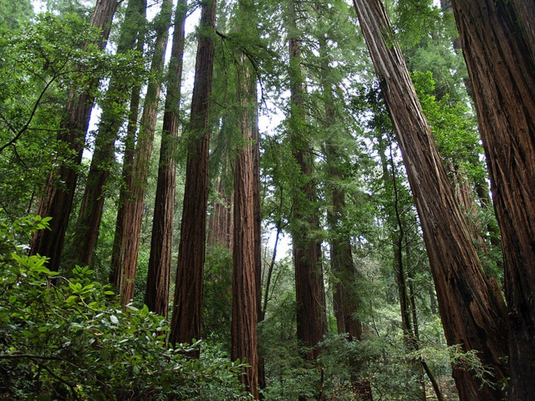 Redwoods Muir Woods © Ernest McGray, Jr./Flickr