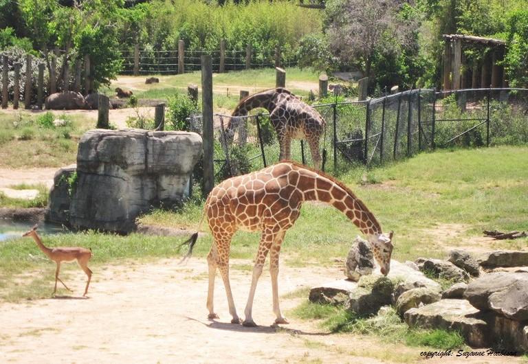 Cameron Park Zoo | © Suzanne Harbison