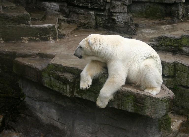 Polar bear (Schonbrunn, Vienna)