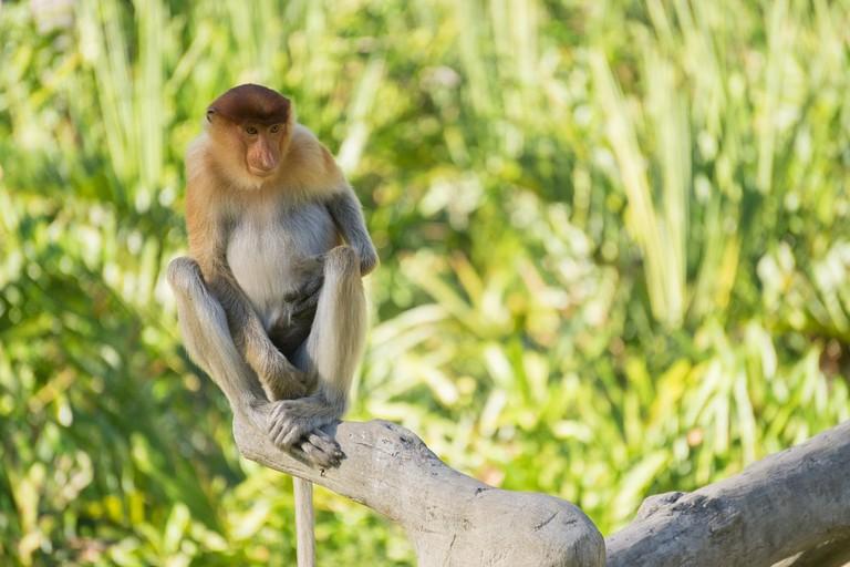 Wild Proboscis monkey in Sandakan Sabah Malaysia
