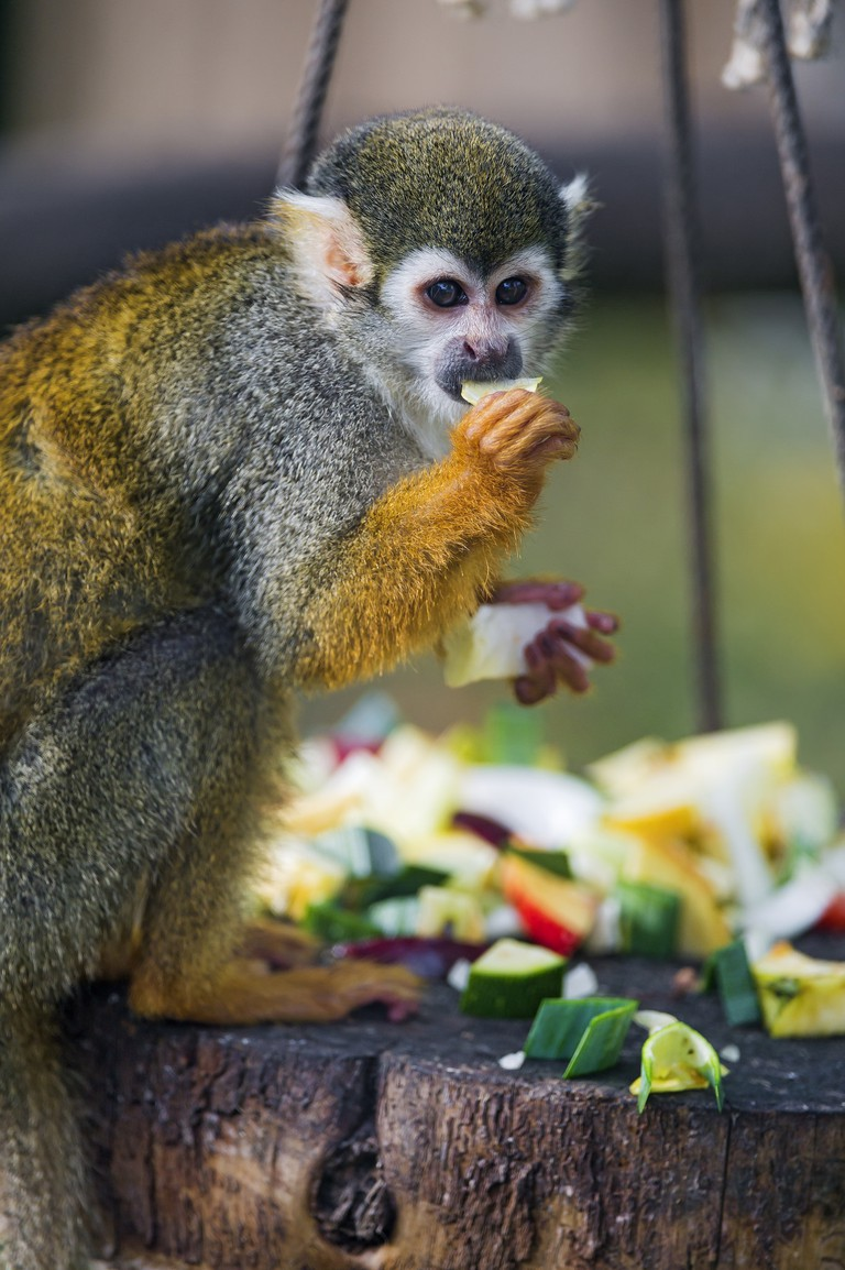 Monkey eating fruit | ©Tambako The Jaguar/Flickr