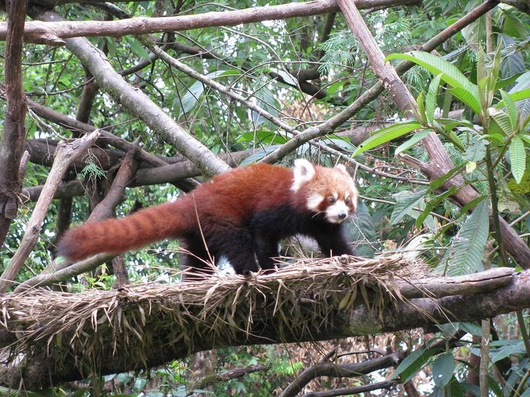 A red panda at the Darjeeling zoo