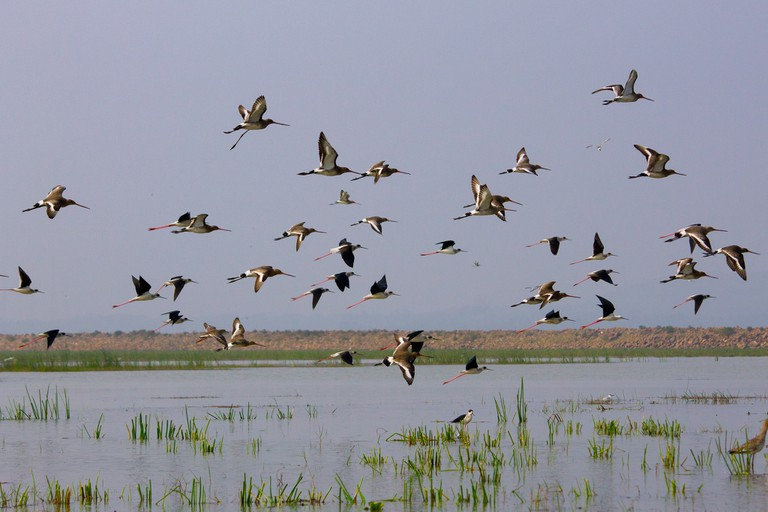 Migratory birds fly over Chilka Lake