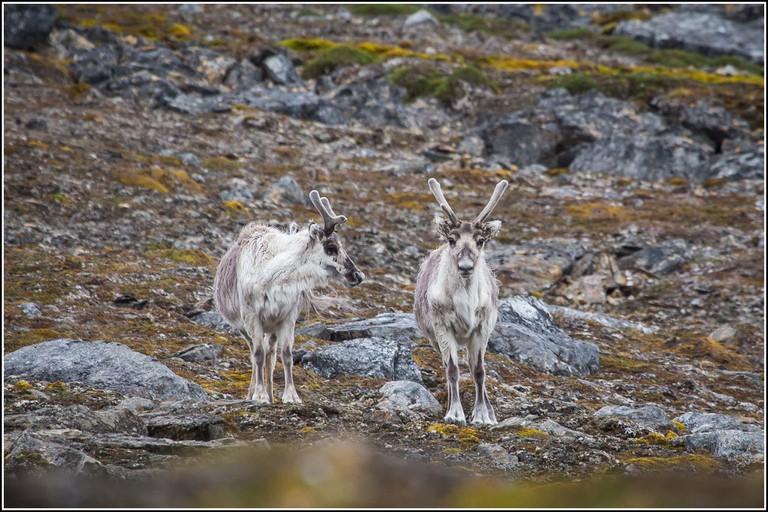 Svalbard Reindeer | © Smudge 9000/Flickr