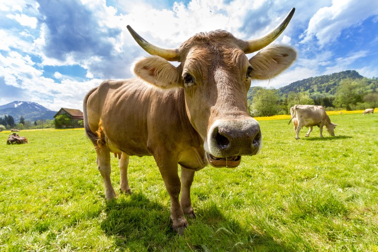 Cow at Pasture - © DominikShrauldof/Pixabay