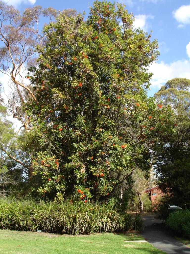Stenocarpus_sinuatus