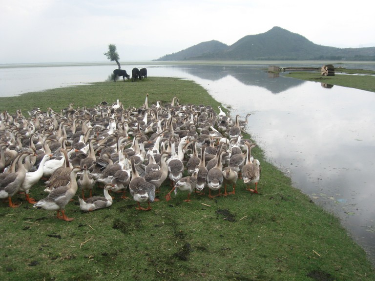 Swans and Geese at the Wular Lake bank