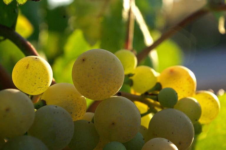 Xarel.lo grape used in Cava