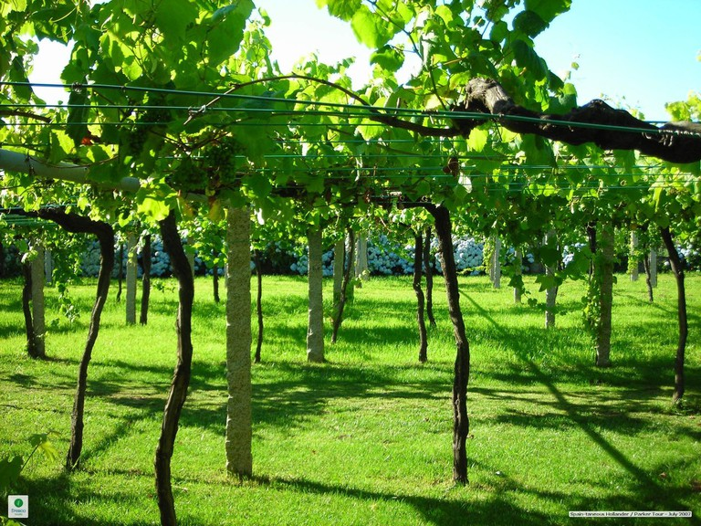 A widely spaced vineyard