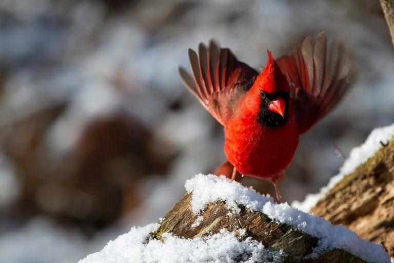 Northern Cardinal | © sneeze/ pixabay