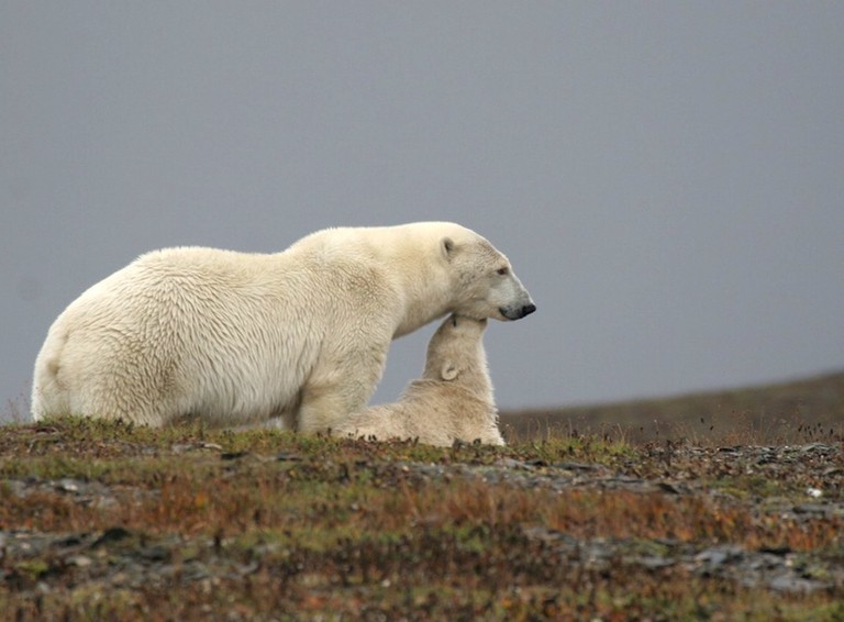 Polar bear and cub, Wrangel Island
