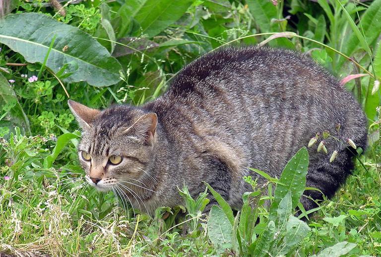 Feral Cat | © Lmbuga / WikiCommons