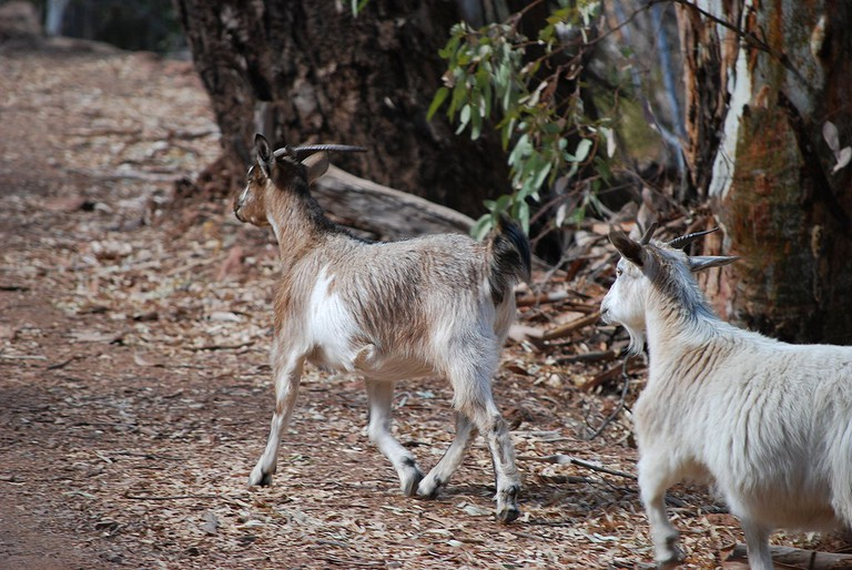 Feral Goats in South Australia | © Peripitus / WikiCommons