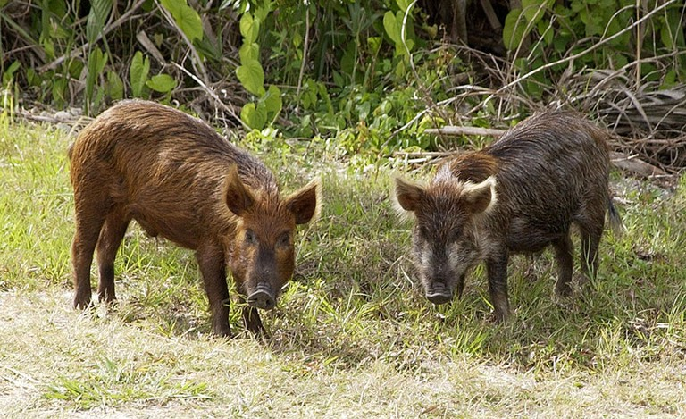 Wild Pig | © NASA or National Aeronautics and Space Administration / WikiCommons