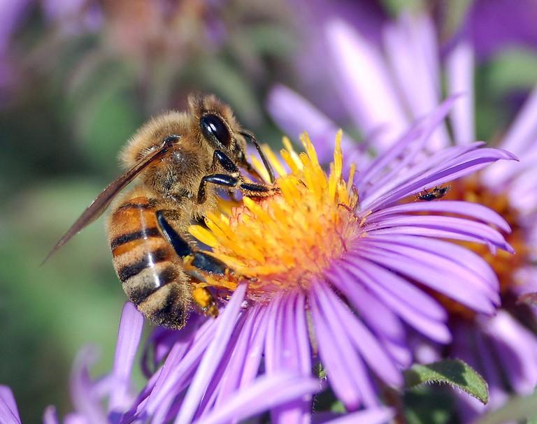 European Honey Bee | © John Severns / WikiCommons