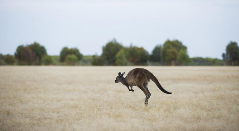 Wallaby on Kangaroo Island | Courtesy of Tourism Australia © Greg Snell