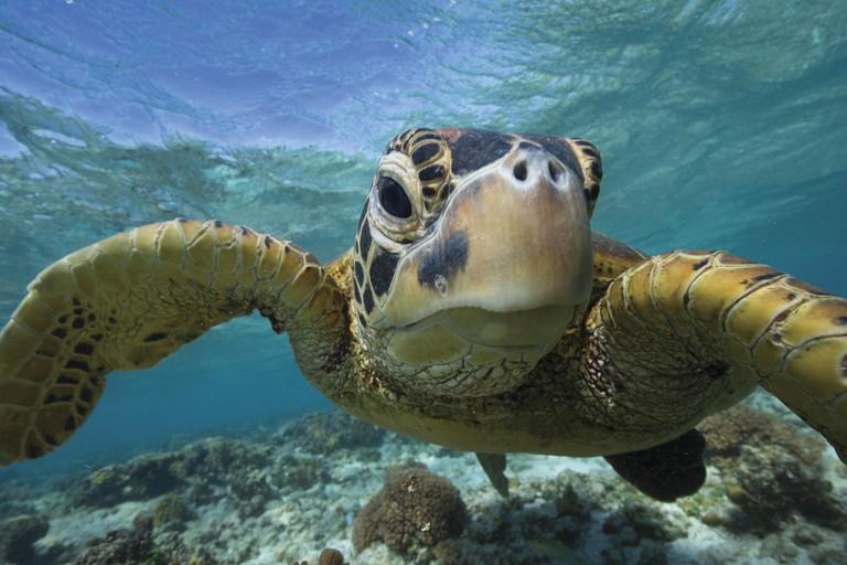 Sea Turtle, Lady Elliot Island, QLD | © Sean Scott