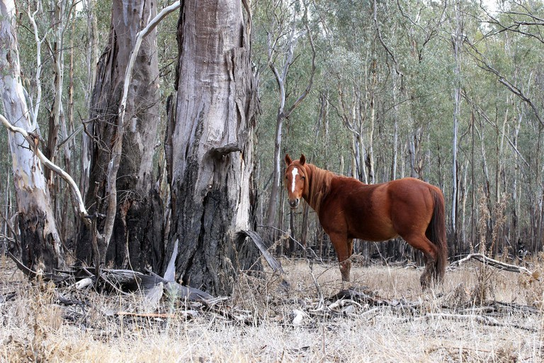 Wild brumby in Victoria | © Darinka Maja / Flickr