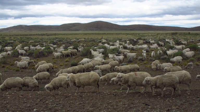 Sheep herding in Patagonia